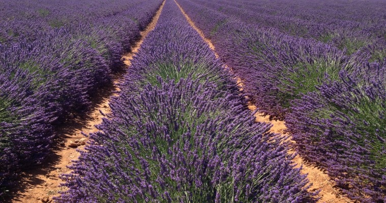Half day lavender tour Valensole morning