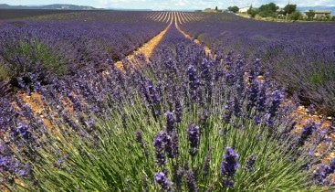 Lavender tour from marseille to Sault and Luberon