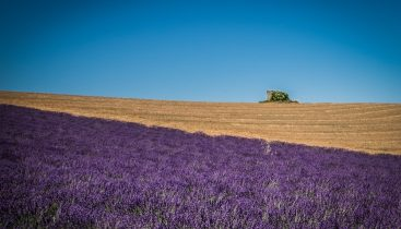 Lavender fields in Verdon park